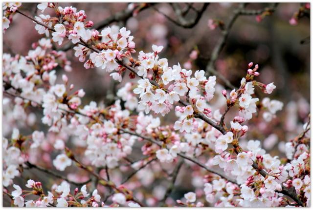青森県 弘前市 観光 弘前公園 弘前城 弘前さくらまつり 桜 さくら サクラ
