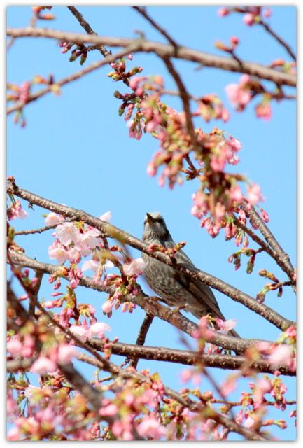 野鳥 ヒヨドリ 鳥の写真 桜