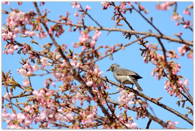 ヒヨドリ 桜 野鳥の写真 鳥