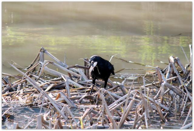 カラス 野鳥 鳥の写真