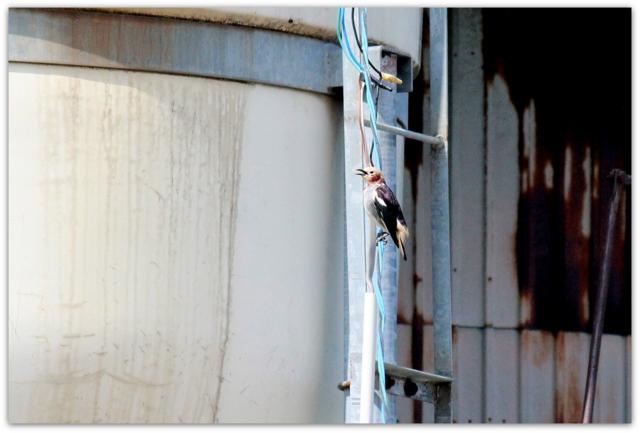 青森県 鰺ヶ沢町 野鳥 鳥の写真 コムクドリ