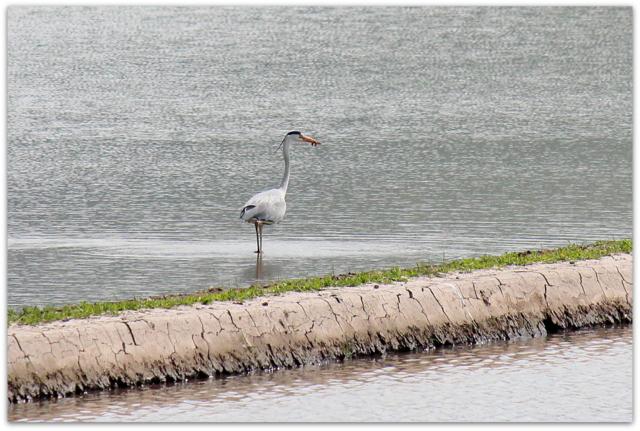野鳥 鳥の写真 ドジョウ 田んぼ 青森県