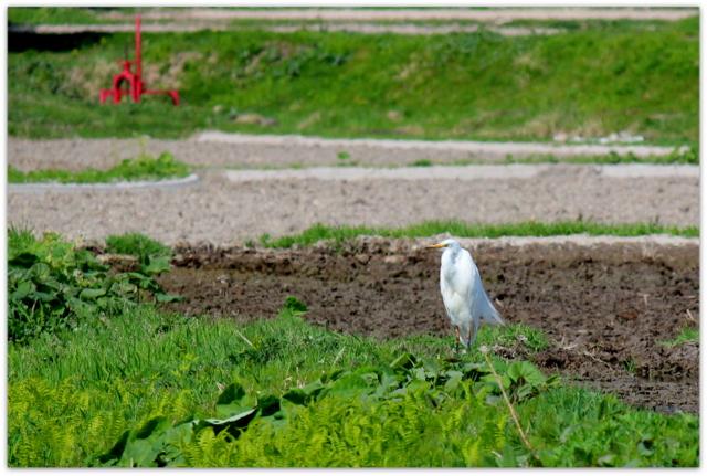 白鷺 シラサギ ダイサギ 野鳥 鳥の写真 青森県 鰺ヶ沢町