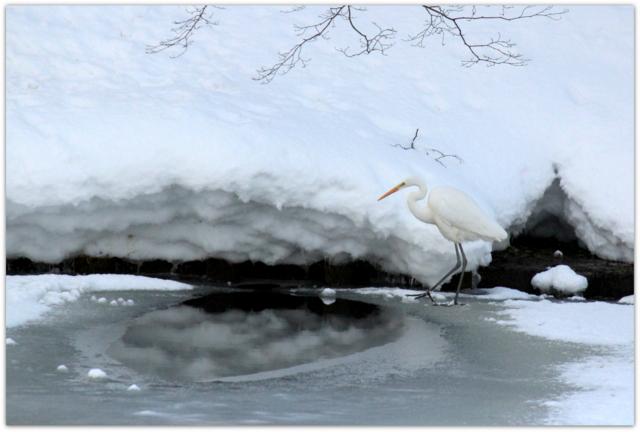 青森県 弘前市 弘前公園 弘前城 野鳥 鳥 写真 白鷺 ダイサギ