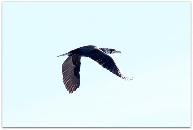 青森県 平川市 猿賀神社 猿賀公園 野鳥 鵜 写真