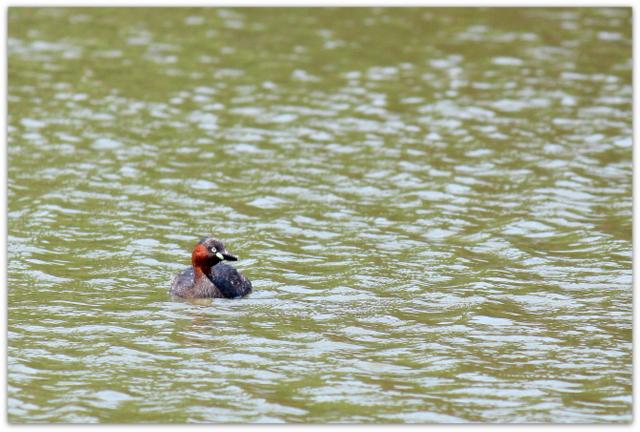 野鳥 鳥の写真 カイツブリ