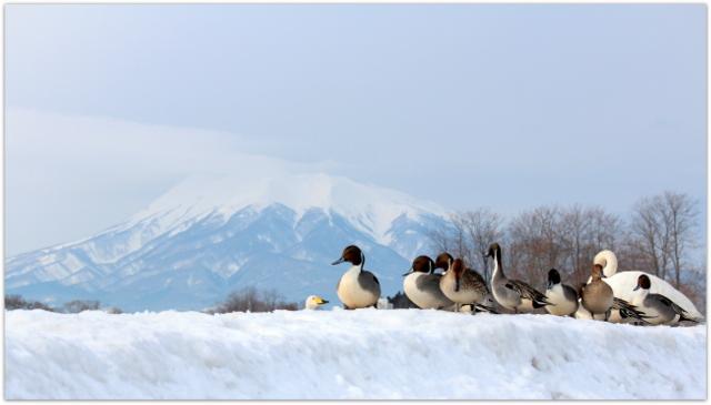 今日の岩木山 青森県 藤崎町 平川 かも 白鳥