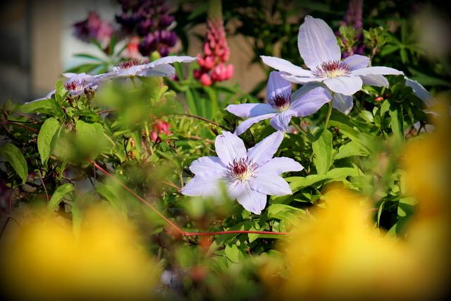 花の写真 クレマチス