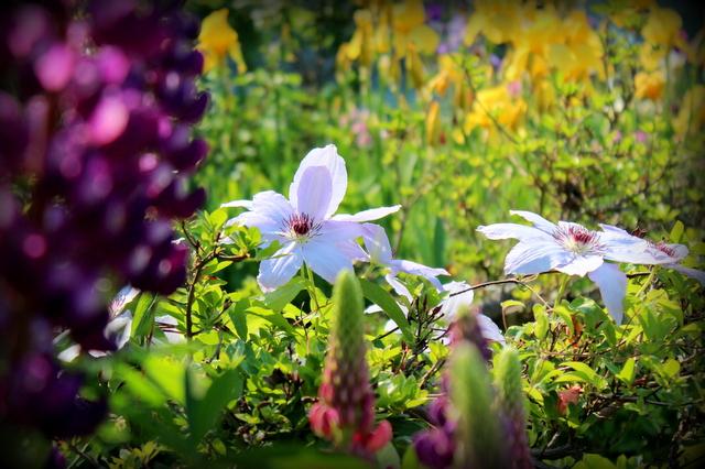 クレマチス 花の写真