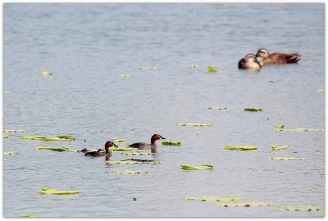 カイツブリ 野鳥の写真 鳥 水鳥