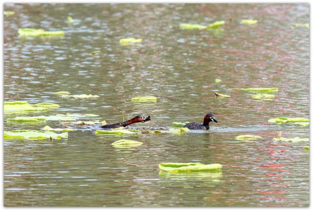 水鳥 鳥 野鳥の写真 カイツブリ