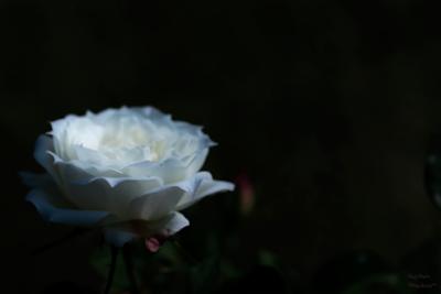roseDSCF0003web.png