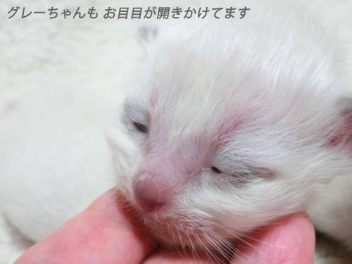 バーマン エンジェル子猫 グレー