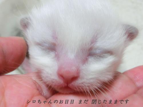 バーマン エンジェル子猫 ライラック