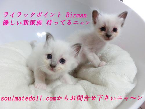 バーマン 子猫 里親募集 ブリーダー