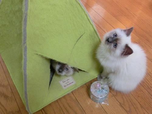 バーマン 子猫 幸運 天使 お引越し