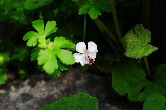 山野草の花