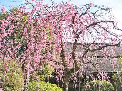 ピンクのしだれ梅です