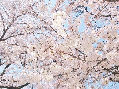 桜のアーチです