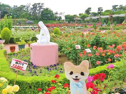 鉢バラは3000円です