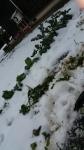 雪に埋もれたジャガイモ