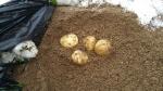 掘り起こしたジャガイモ