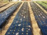 玉葱の追肥
