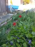 花壇のチューリップ1