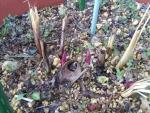 芍薬の発芽1