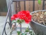 ホントはもっと赤いボケの花