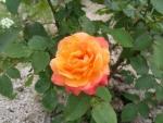 アンネのバラ2