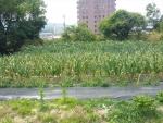 ニンニク・玉葱・ジャガイモの花