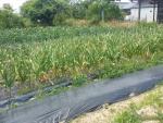 収穫間近のニンニク1