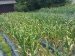収穫間近のニンニク2