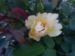 枝変わりのアンネのバラ