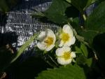 イチゴの花1