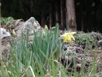 咲き始めた水仙1