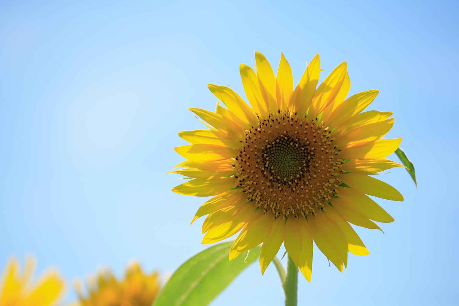 sunflower_61.jpg