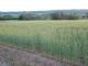 背丈が伸びた麦