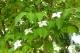 ヤマボウシの花」