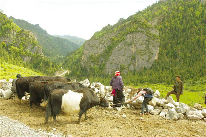 迭部:牛がいっぱい_R