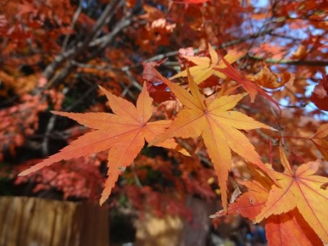 2014年11月30日須磨離宮公園の紅葉⑤
