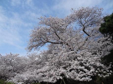 2015年4月2日明石城公園④