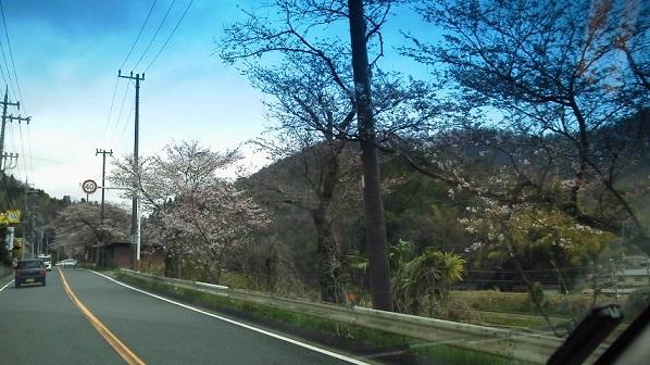 ローラー&桜 (4)