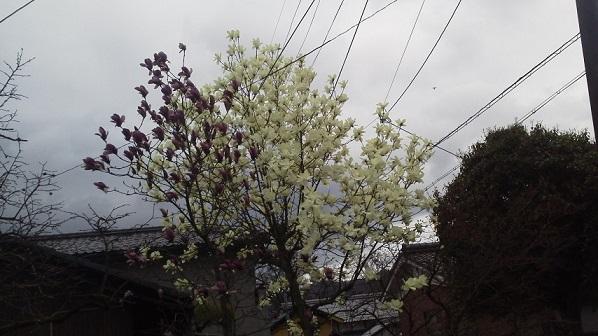 ローラー&桜 (6)