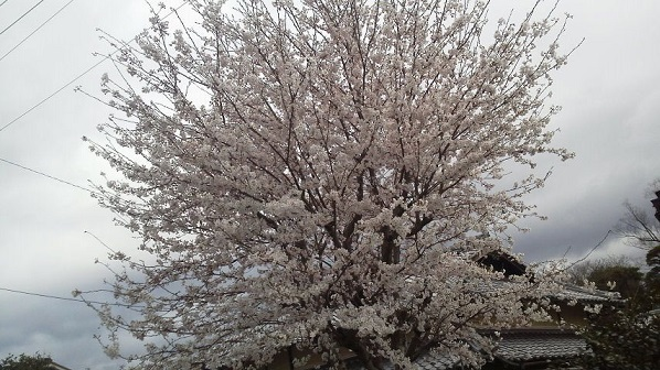 ローラー&桜 (7)