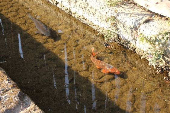 御用堀を泳ぐ鯉
