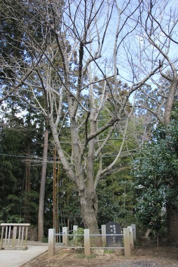 親鸞聖人お手植えの菩提樹