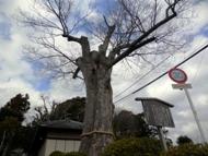 諏訪神社ケヤキ