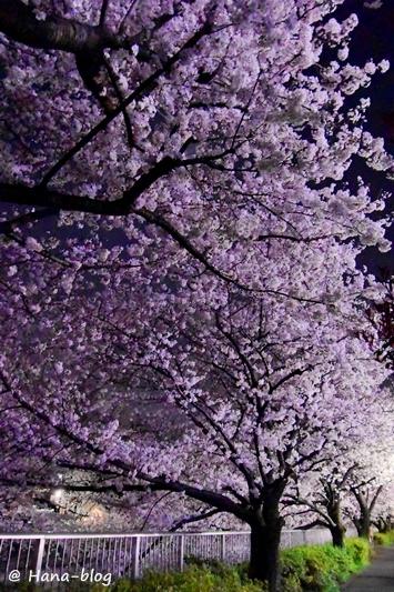 夜桜 058